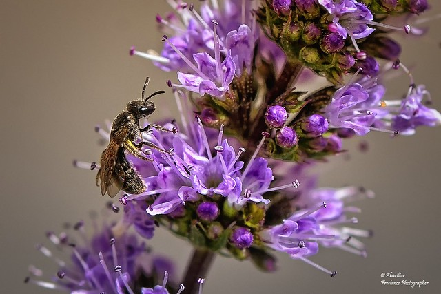 Yerbabuena flowers