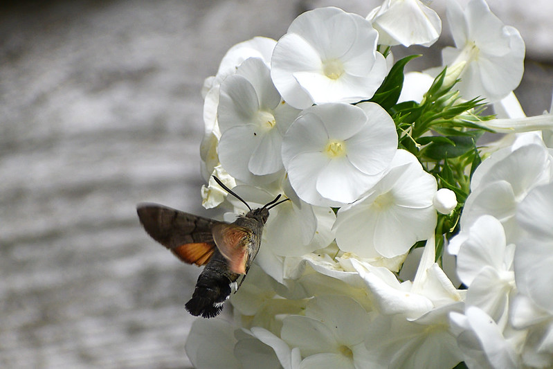 Hummingbird-Hawk-moth3a