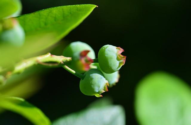 Munich - Blueberries - still green...