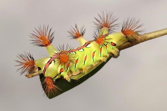 Stinging Nettle Slug Caterpillar (Cup Moth, Setora baibarana, Limacodidae)