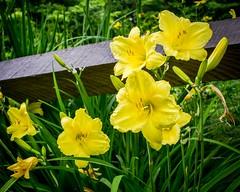 Flower - Lillies