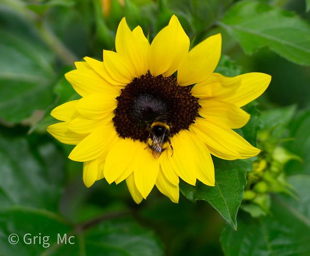 sunflowerbee-2