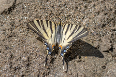 Flambé - Scarce Swallowtail - Iphiclides podalirius