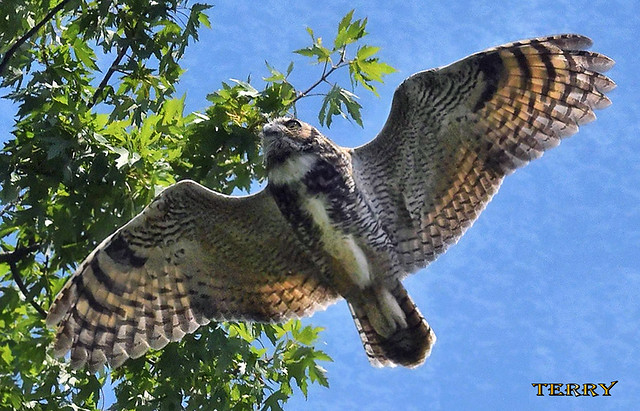 Great Horned Owl...