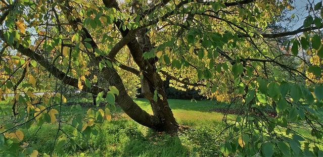 Prunus Avium...'Adriana'...Wild Cherry