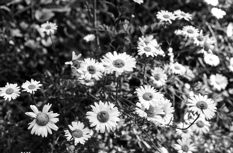 Black and White Daisies July 2020