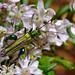 "<p><a href=""https://www.flickr.com/people/indigoplum/"">Indigoplum</a> posted a photo:</p>  <p><a href=""https://www.flickr.com/photos/indigoplum/50086883793/"" title=""Thick Kneed Beetle""><img src=""https://live.staticflickr.com/65535/50086883793_96da487e0c_m.jpg"" width=""240"" height=""160"" alt=""Thick Kneed Beetle"" /></a></p>"