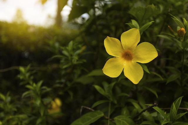 Colorful yellow flowers of Allamanda, Common allamanda, Golden trumpet, Golden trumpet vine, Yellow bell