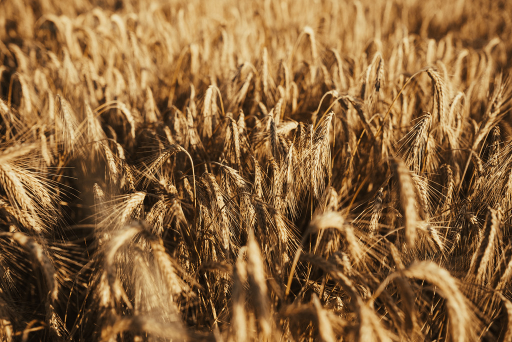 Wheat grain field illuminated by sunlight