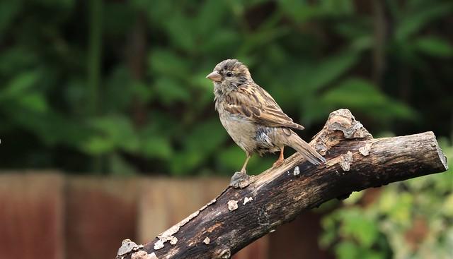 House Sparrow - Female      (Passer domesticus)