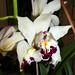"<p><a href=""https://www.flickr.com/people/nolehace_photography/"">nolehace</a> posted a photo:</p>  <p><a href=""https://www.flickr.com/photos/nolehace_photography/50087104843/"" title=""Cymbidium Fan Freak hybrid peloric orchid 5-20""><img src=""https://live.staticflickr.com/65535/50087104843_d3abc08b30_m.jpg"" width=""170"" height=""240"" alt=""Cymbidium Fan Freak hybrid peloric orchid 5-20"" /></a></p>"