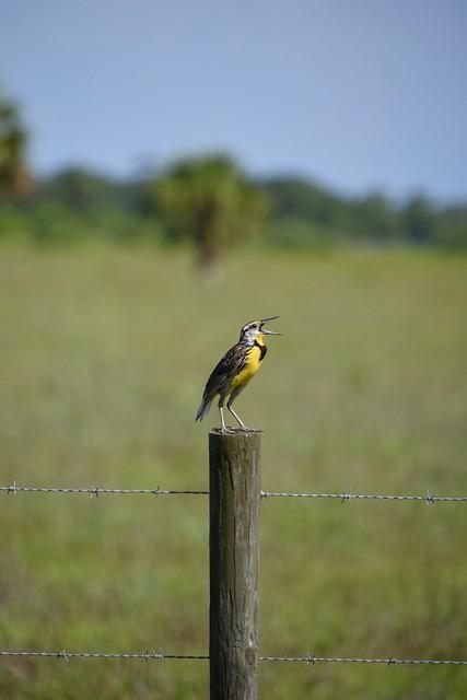 Eastern Meadowlark in song