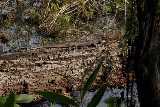 Bengal Monitor (Varanus bengalensis)