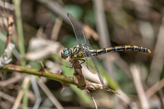 Gomphe à Pinces – Small Pincertail - Onychogomphus forcipatus