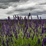 7. Juuli 2020 - 15:47 - It's nice to be able to go out a bit now, isn't it? My Camera Buddy and I decided to take a trip to the lavender fields at Hitchin (ooh! foreign - Hertfordshire!!) The trouble with going out now, is that you have to buy a timed ticket and take a chance.  We studied weather forecasts and times available.  Yup, Tuesday afternoon, 3 - 5 was the bees-knees! And just look at the clouds! Our 2 hours gave us a chance to walk up, snapping away as we went in really dreary conditions, drink a cup of tea, swallow a piece of (lavender, obviously!) shortbread while it rained, and our time was up! Oh well, we've been out, masked and sanitised. And had a jolly good time! It was great to get out! YAY!!! FREEDOM!!! (AND a haircut tomorrow!!!)