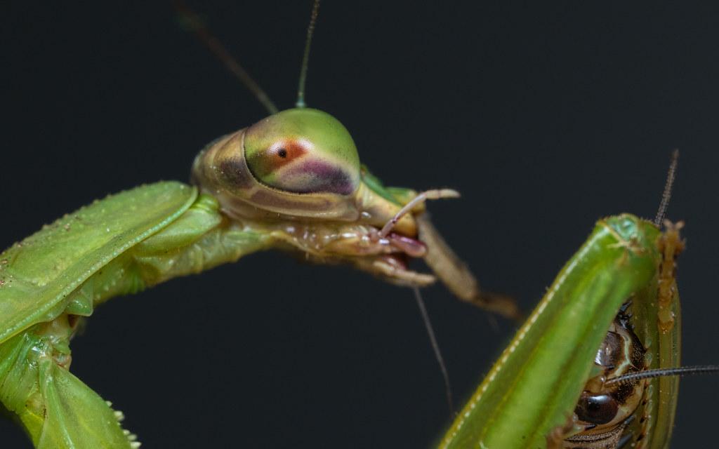 Praying Mantis Cricket You Want A Bite Praying Mantis Flickr