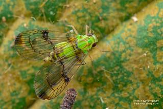 Planthopper (Paricana sp.) - DSC_9761