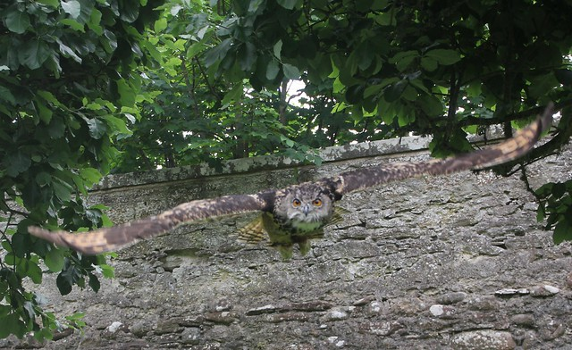 Owl in Flight, UK.