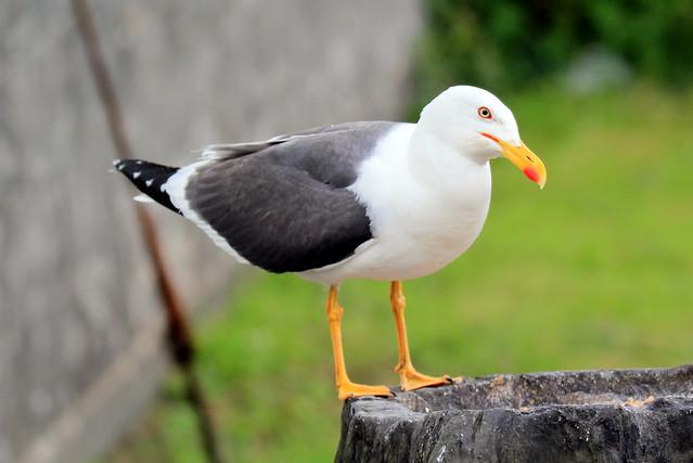 Seagull - lesser black backed