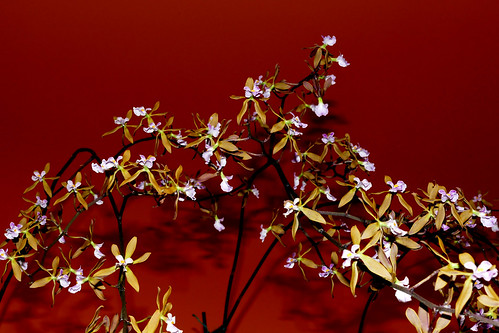 Encyclia Newberry Dark Stars hybrid orchid