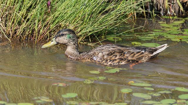 Cane colvert - Mallard duck, Québec, Canada - 7537