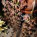 "<p><a href=""https://www.flickr.com/people/nolehace_photography/"">nolehace</a> posted a photo:</p>  <p><a href=""https://www.flickr.com/photos/nolehace_photography/50087917607/"" title=""Cymbidium Cricket &#039;Pala Pala&#039; primary hybrid orchid 5-20""><img src=""https://live.staticflickr.com/65535/50087917607_6bec3b927e_m.jpg"" width=""184"" height=""240"" alt=""Cymbidium Cricket &#039;Pala Pala&#039; primary hybrid orchid 5-20"" /></a></p>"