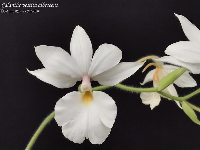 Calanthe vestita albescens