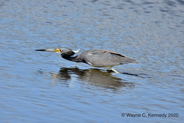 Tricolored Heron with a forward lean!