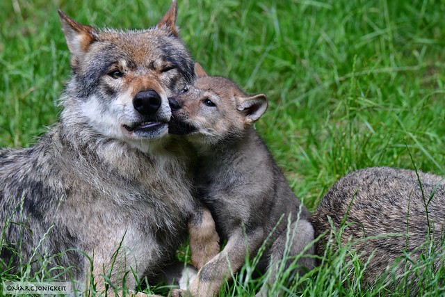 Idylle bei Familie Wolf // Idyllic with the Wolf family