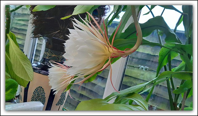 Flower Of The Day - Saussurea obvallata (Brahma Kamal), (Queen of the Night)