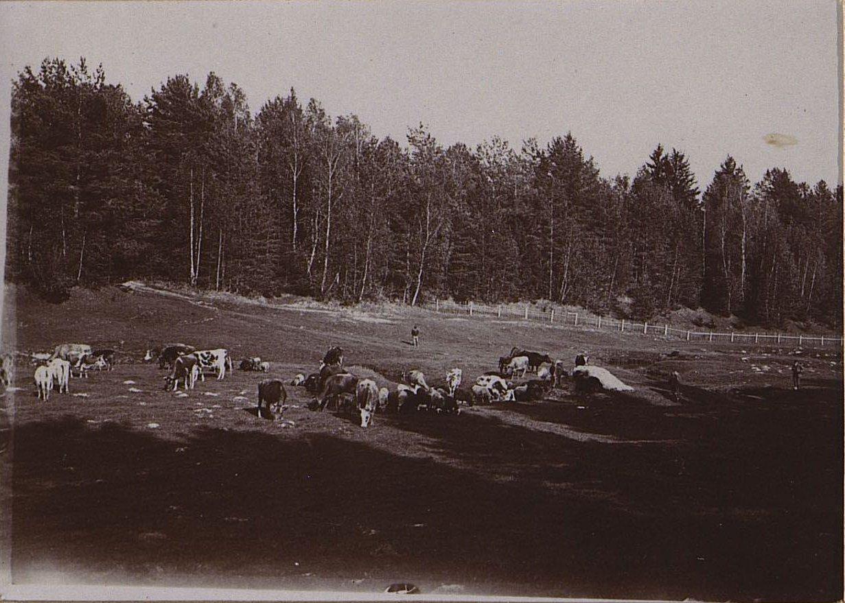 02. Стадо коров на пастбище