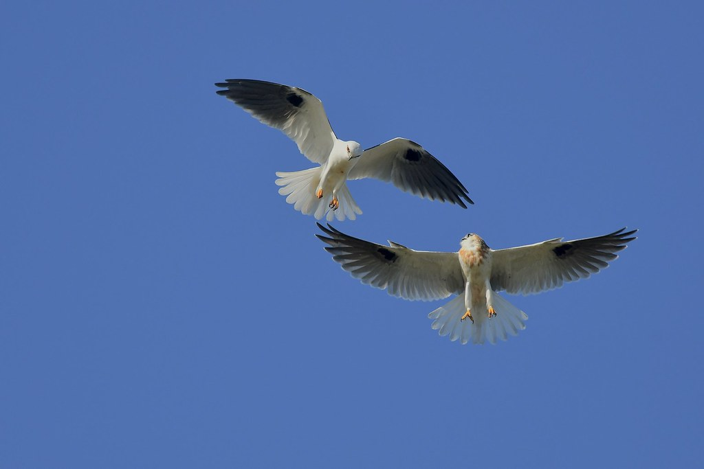 Black -shouldered Kites ( Dad showing a few more skills )