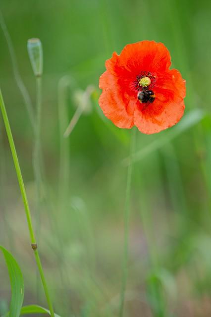 Little poppy in the grass
