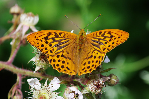 argynnispaphia cambridgeshire monkswood butterfly fritillary nature silverwashed wild wildlife