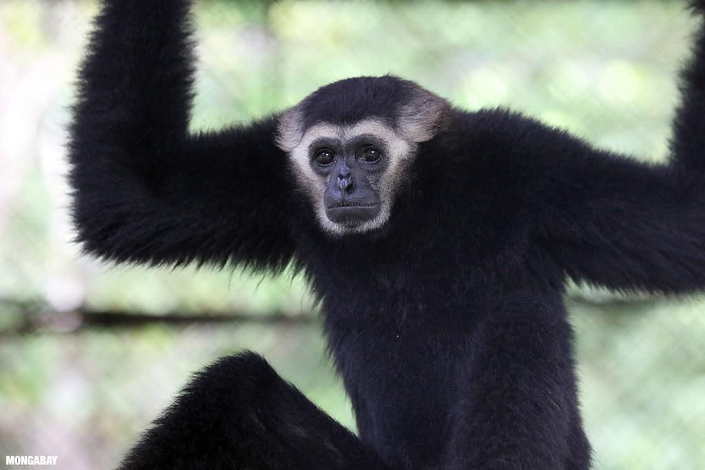 PLCN指出,普雷朗野生物保護區是393種動物的棲地。其中有55種受脅物種有滅絕風險,包括亞洲象(Asian elephants, Elephas maximus)、爪哇野牛(Banteng, Bos javanicus)與戴帽長臂猿(Pileated Gibbons, Hylobates pileatus),這些物種在IUCN紅皮書中都被列為「瀕危級」(Endangered, EN)。圖片來源:Rhett Butler(Mongabay)