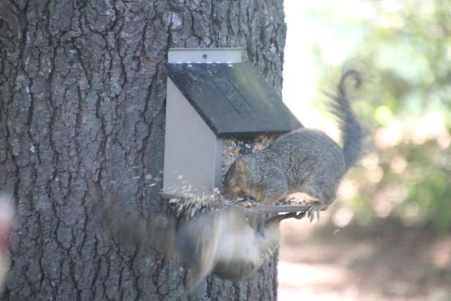 Backyard Red & Fox Squirrels (Ypsilanti, Michigan) - July 7th, 2020