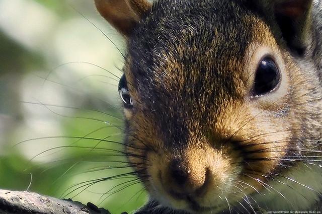 2020-06-17 Eastern Gray Squirrel (02) (1024x680)