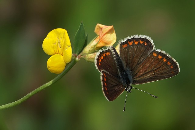 butterfly species the brown-blue