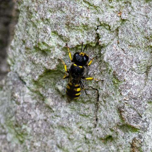 Square-headed wasp - subtribe Crabronina
