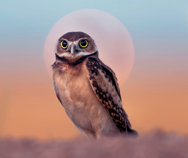 "Burrowing Owl (Juvenile) at first light.  Being ""Explored""   (Athene cunicularia)"