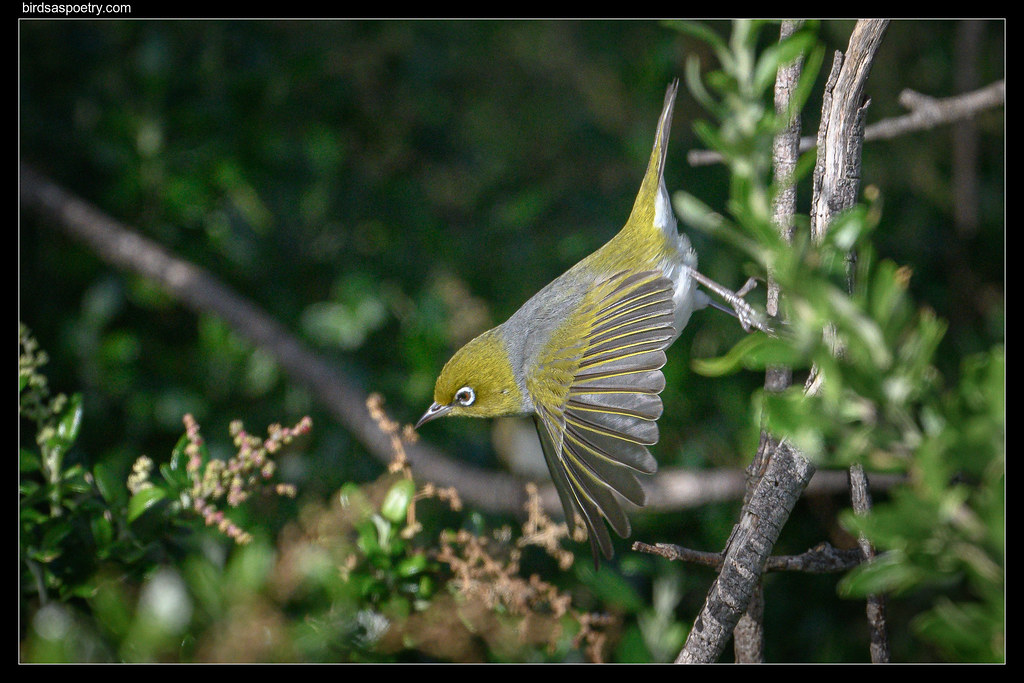 Silvereye: Gone at the Speed of Light