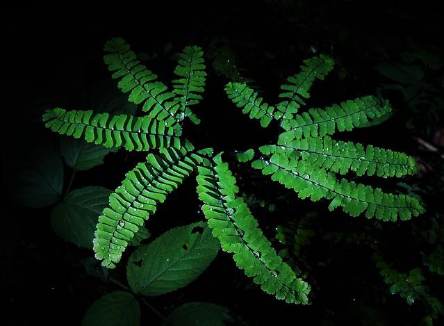 Raindrops on Maidenhair Fern (Adiantum pedatum)