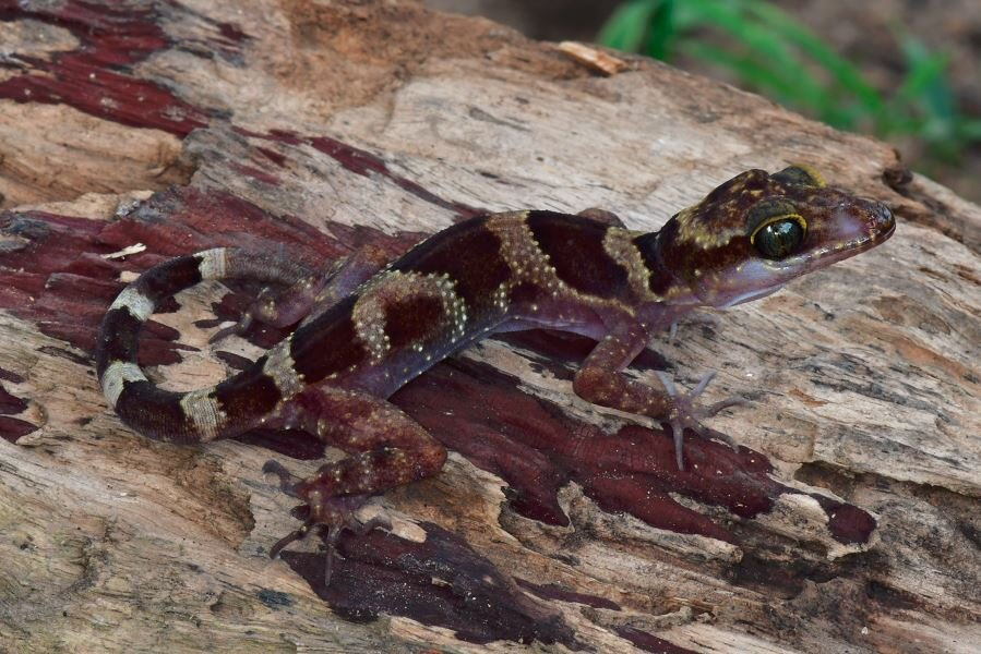 """儘管林地遭受破壞,仍有一些新種發現於普雷朗森林中。彎趾壁虎(Bent-toed Gecko, Cyrtodactylus phnomchiensis)就是其中之一,而且生物學家Thy Neang和Bryan Stuart描述該物種的文章才剛在今年4月刊登於《Zookeys》期刊中。Neang與Stuart在文章中指出,由於森林棲地正不斷流失,必須「緊急執行」(""""urgently warranted"""")這個物種的保育狀況評估。圖片來源:Thy Neang"""