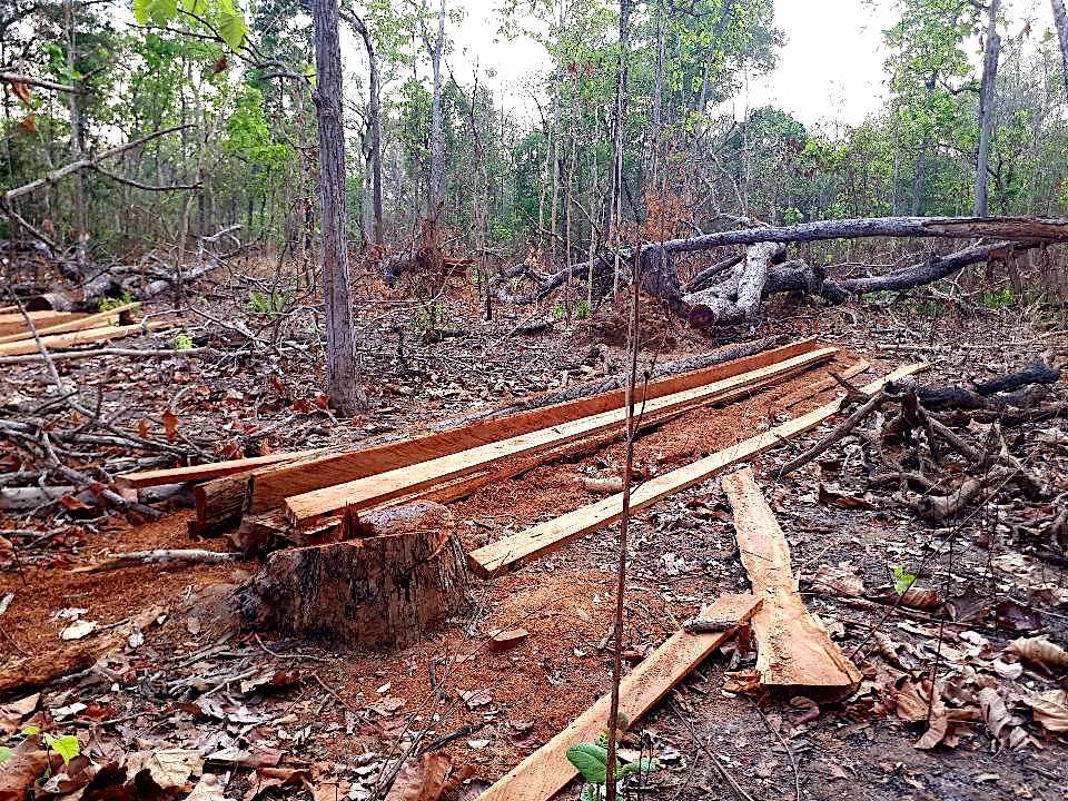 普雷朗保護區內曾經挺立的大樹,如今剩下殘株,其餘部位則變成木材。圖片來源:普雷朗社群網絡(Prey Lang Community Network)
