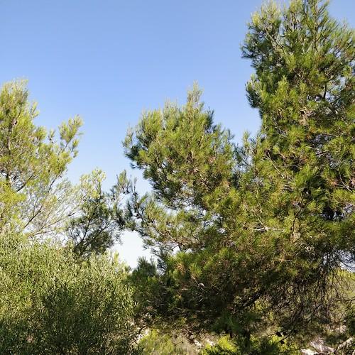 Trees of Cala Pi