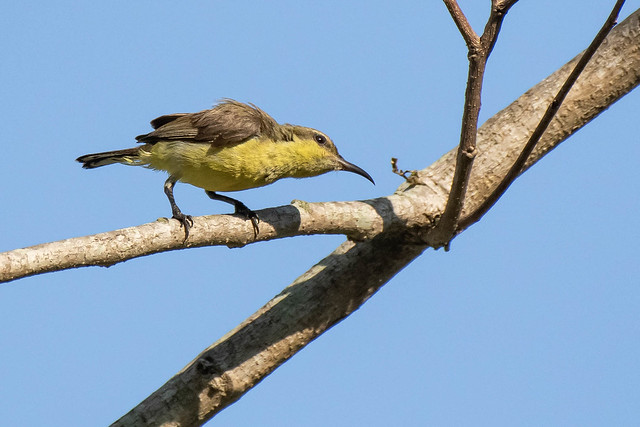 Olive-backed Sunbird (F)