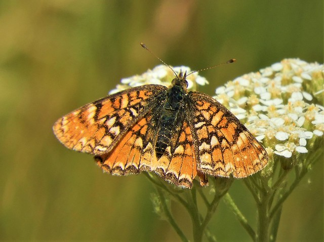 I say this is a Sierra Nevad Crescent! Phyciodes orseis herlani!