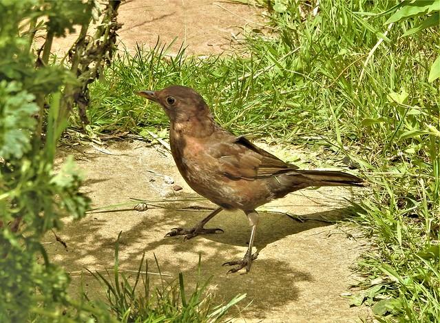 Blackbird (juv)