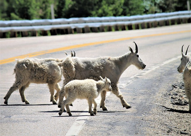 Mountain Goats Crossing