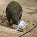 Kea (Lat. Nestor notabilis)